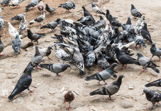 Pigeons in the Park. Royalty Free Stock Image