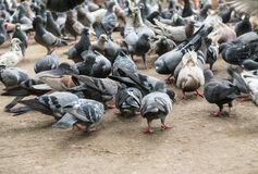 Pigeons in the Park. Royalty Free Stock Photography