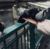Pigeons peck feed with hands stock photography