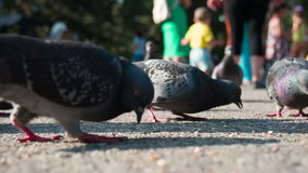 Pigeons Peck Grain on the Pavement stock video