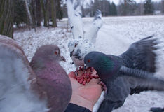 Pigeons peck nuts sitting on a hand Stock Photography