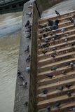 Pigeons pecking bread. Close-up. Pigeons pecking bread on the bridge in Paris. Close-up royalty free stock photos