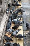 Pigeons pecking bread. Close-up. Pigeons pecking bread on the bridge in Paris. Close-up stock image