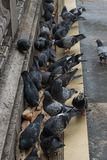 Pigeons pecking bread. Close-up. Pigeons pecking bread on the bridge in Paris. Close-up stock photo