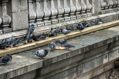 Pigeons pecking bread. Close-up. Pigeons pecking bread on the bridge in Paris. Close-up royalty free stock images
