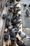 Pigeons pecking bread. Close-up. Pigeons pecking bread on the bridge in Paris. Close-up royalty free stock photo