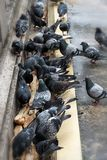 Pigeons pecking bread. Close-up. Pigeons pecking bread on the bridge in Paris. Close-up stock photos