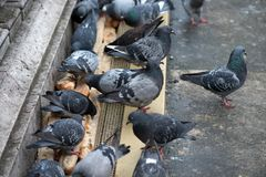 Pigeons pecking bread. Close-up. Pigeons pecking bread on the bridge in Paris. Close-up stock images