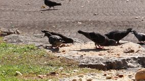 Pigeons pecking bread stock video