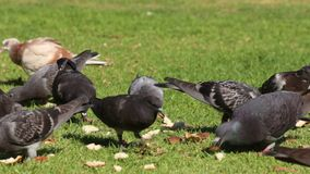 Pigeons pecking bread stock video footage