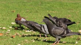 Pigeons pecking bread stock footage