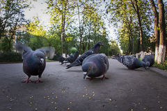 Pigeons pecking the grain in the Park. Summertime royalty free stock photo
