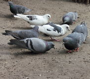 Pigeons pecking grain. Doves. Urban pigeons pecking grain on the ground Royalty Free Stock Photos