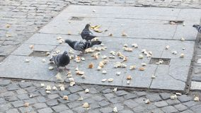 Pigeons pecking Stock Photography