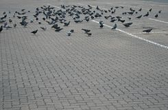 PIGEONS PECKING AT SCRAPS ON THE PAVING. A flock of pigeons on paving pecking at food scraps royalty free stock image