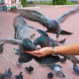 Pigeons pecking seeds on the man's hand Royalty Free Stock Photos