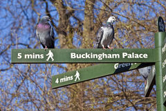 Pigeons on Pedestrian Signposts in London Royalty Free Stock Photo