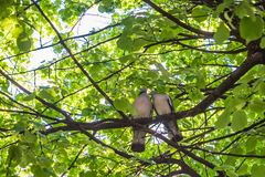 pigeons peel each other feathers among the branches of a tree. Concept of love stock image