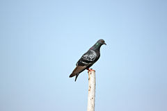 Pigeons perched atop wood poles. Stock Images