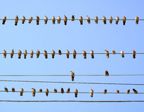 Pigeons Perched on Wires. Royalty Free Stock Photography