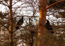 Pigeons on a pine Stock Images