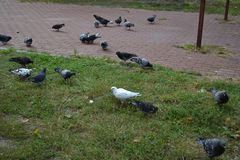 Pigeons on the playground, autumn day stock photos