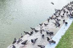 Pigeons at pool edge, Bangkok. Thailand Stock Image