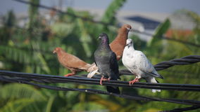 Pigeons on a power line. Black, brown and white pigeons on a power line Royalty Free Stock Photos