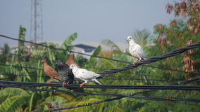 Pigeons on a power line. Black, brown and white pigeons on a power line Stock Images