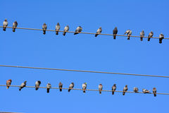 Pigeons private distance Royalty Free Stock Images