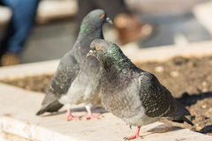 Pigeons In Public Square Royalty Free Stock Photos