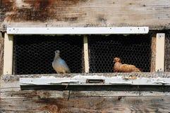Pigeons in Pugeon Coop Stock Photo