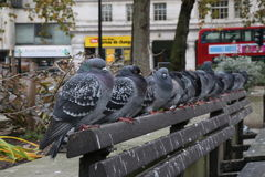 Pigeons queuing up. On one of the benches in London, United Kingdom Stock Photos