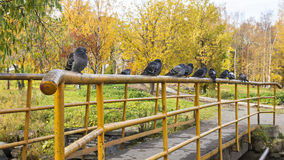 Pigeons on railing of the bridge in autumn Stock Images