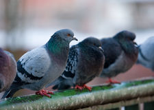 Pigeons on railings Stock Images