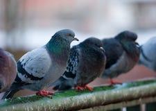 Pigeons on railings. Flock of urban pigeons on bridge railings Stock Images
