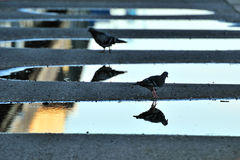 Pigeons with reflections in water Royalty Free Stock Photo