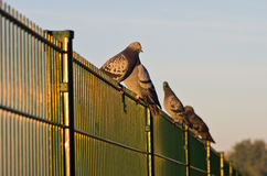 Pigeons resting on a fence by the lake Royalty Free Stock Photos