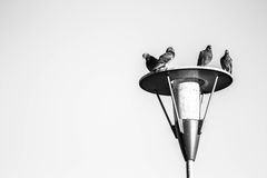 Pigeons Resting Royalty Free Stock Images