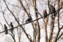Pigeons resting on telephone pole cable in row creating diagonal line Stock Photos