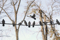 Pigeons resting on telephone pole cable in row Stock Images