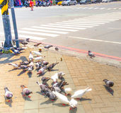 Pigeons on the road in the daytime stock images