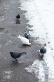 Pigeons on a road Stock Photography