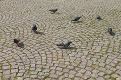 Pigeons on the roadway royalty free stock image