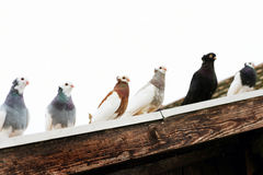Pigeons on the roof Royalty Free Stock Images