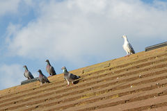 Pigeons on roof. Royalty Free Stock Photo