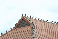 Pigeons on roof royalty free stock photo