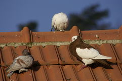 Pigeons on the roof - Columba livia domestica Stock Images