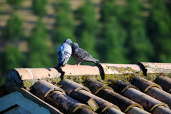 Pigeons on roof Royalty Free Stock Photography