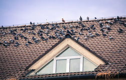Pigeons on the roof of the house royalty free stock photography